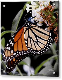 Monarch Butterfly Acrylic Print by James C Thomas