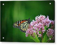 Monarch In Light  Acrylic Print