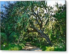Moss Covered Tree In Garland Ranch Park In Monterey California. Acrylic Print by Jamie Pham