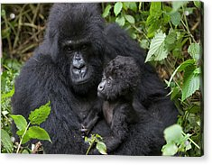 Mountain Gorilla And Infant Acrylic Print by Suzi Eszterhas
