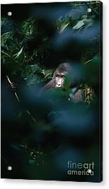 Mountain Gorilla Acrylic Print by Art Wolfe