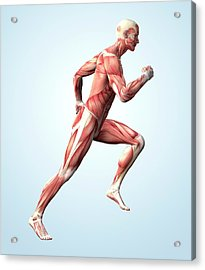 Muscular System Acrylic Print by Roger Harris
