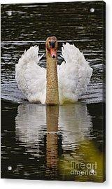 Mute Swan Acrylic Print by Michael Cummings