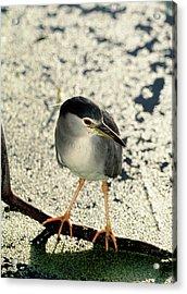 Night Heron Acrylic Print by Tony Camacho/science Photo Library