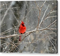 Northern Cardinal Acrylic Print by Clare VanderVeen