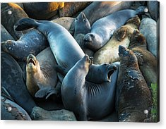 Northern Elephant Seals At Piedras Acrylic Print by Russ Bishop