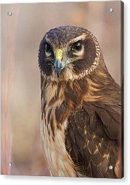 Northern Harrier Female Acrylic Print