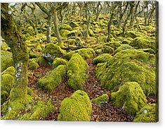 Oak Woodland On Dartmoor Acrylic Print