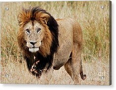 Old Lion Acrylic Print by Alan Clifford