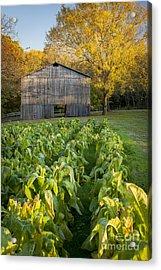 Old Tobacco Barn Acrylic Print by Brian Jannsen