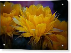 Orange Cactus Flowers  Acrylic Print