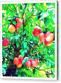 Orange Trees With Fruits On Plantation Acrylic Print by Lanjee Chee