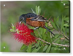 Orchard Oriole Acrylic Print