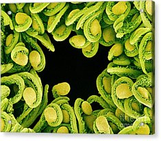 Sem Of Orchid Cactus Ovules Acrylic Print by Susumu Nishinaga