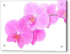 Orchid Isolated Acrylic Print by Michal Bednarek