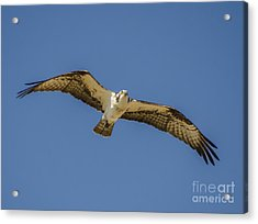 Acrylic Print featuring the photograph Osprey In Flight Spreading His Wings by Dale Powell