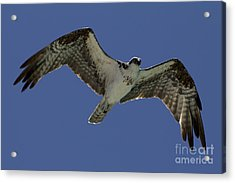 Acrylic Print featuring the photograph Osprey In Flight Photo by Meg Rousher