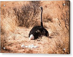 Ostrich Struthio Camelus Acrylic Print