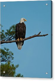Acrylic Print featuring the photograph Out On A Limb by Brenda Jacobs