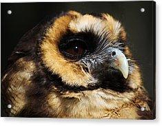 Owl Acrylic Print by Paulette Thomas