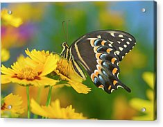 Palmedes Swallowtail, Papilio Palmedes Acrylic Print by Darrell Gulin