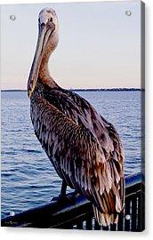 Pelican At Port Acrylic Print
