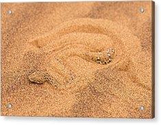 Peringuey's Adder Burying Itself In Sand Acrylic Print by Tony Camacho