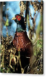 Pheasant Acrylic Print by Duncan Shaw/science Photo Library