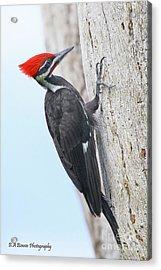 Pileated Woodpecker Acrylic Print