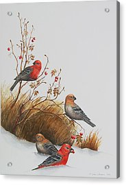 Pine Grosbeaks Acrylic Print by Gina Gahagan