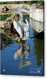 Pink Backed Pelican Acrylic Print
