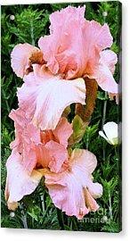 Pink Iris Acrylic Print by Claudette Bujold-Poirier
