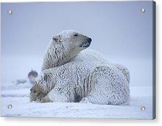 Polar Bear Sow With Cub Resting Acrylic Print by Steven Kazlowski