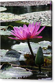 Pond Series Acrylic Print by Amanda Barcon