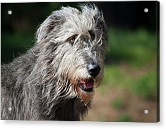 Portrait Of An Irish Wolfhound Acrylic Print by Zandria Muench Beraldo