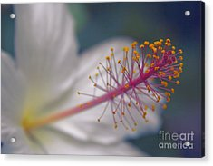 Acrylic Print featuring the photograph Pua Aloalo - Koki'o Ke'oke'o - Hibiscus Arnottianus - Hawaiian White Hibiscus  by Sharon Mau