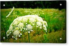 Queen Anne's Lace Acrylic Print by Carol Toepke