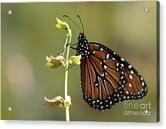 Acrylic Print featuring the photograph Queen Butterfly by Meg Rousher