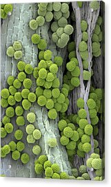 Ragweed Pollen Grains Acrylic Print by Martin Oeggerli/science Photo Library