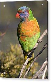 Rainbow Lorikeet Acrylic Print by Steven Ralser