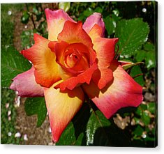 Rainbow Sorbet Rose Acrylic Print