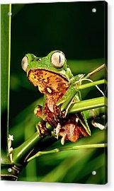 Razor Backed Monkey Frog Phyllomedusa Acrylic Print by David Northcott