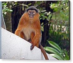 Red Colobus Monkey Acrylic Print by Tony Murtagh