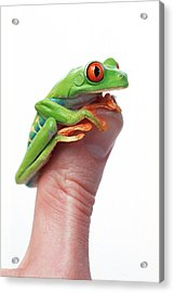 Red-eyed Tree Frog Agalychnis Callidryas Acrylic Print by Corey Hochachka