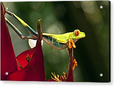 Acrylic Print featuring the photograph Red Eyed Tree Frog 1 by Jialin Nie Cox WorldViews