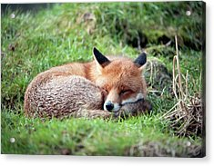 Red Fox Acrylic Print by Dr P. Marazzi/science Photo Library