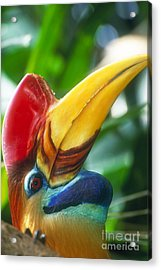 Red-knobbed Hornbill Acrylic Print