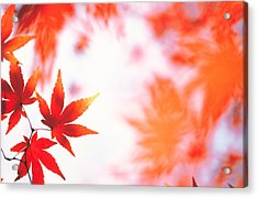 Red Maple Leaves Acrylic Print by Panoramic Images