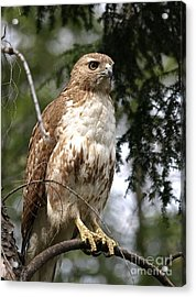 Red Tail Hawk 2 Acrylic Print by Peter Gray