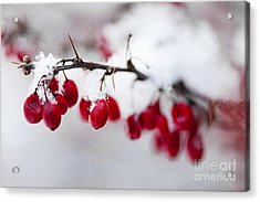 Red Winter Berries Under Snow Acrylic Print by Elena Elisseeva